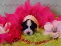 This beautiful Havashih puppy was born on December 15th