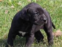 We have an AKC female black Great Dane puppy looking