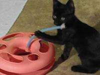 Pandora's story I am a solid black kitten (3 months