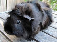 Hello, my name is Pandy. I am a young, female guinea