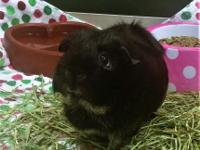 Panther is one cute guinea pig and she is ready to find