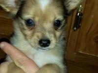 I have 2 absolutely adorable male papachi puppies for