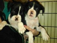 * BOXER PUPS * 6 weeks 3 days old,. Papered CKC, Born