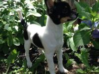READY NOW Half AKC Papillon half AKC Chihuahua 13 weeks