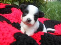 Little female Papi-Pom. Half AKC Pomeranian half AKC