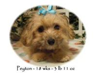 Peyton is a Papillon/Poodle cross If you are looking