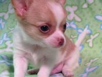 Papichi (Papillon & & Chihuahua) Will go house 8 weeks