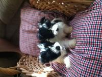 I have 2 females Jack russell papillion havanese