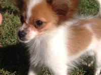 I have a Red and White tiny Toy Papillon puppy up for