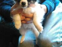 5 beautifil Papillons Puppies 4 males & 1 female,