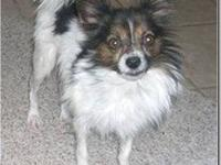 Papillon - Augie - Small - Adult - Male - Dog 6 lbs, 9""
