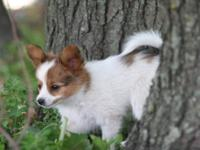 Papillon - Chewie - Small - Young - Male - Dog Chewy is