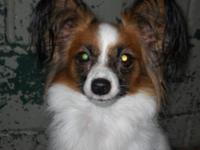 Papillon - Cily - Medium - Adult - Female - Dog CILY IS