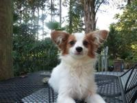 I have a red and white female puppy that is ready for