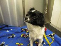 Papillon - Gizmo - Small - Young - Male - Dog Gizmo is