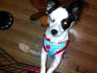 Papillon - Gracie - Small - Young - Female - Dog Gracie