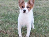 6 y/o spayed female Papillon. This sweet loving girl is