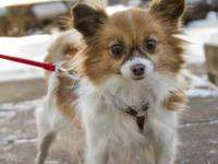 Papillon - Nessie-new To Rescue - Small - Adult -