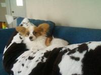 Papillon - Papillon - Small - Adult - Female - Dog Hi