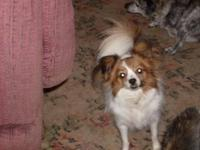 Papillon - Pappy..adopted - Small - Adult - Male - Dog