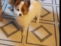This little girls mother is a purebreed papillon and