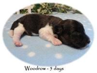 Woodrow is a tri-color Papi-poo (Papillon/Poodle) This