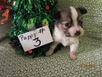 Beautiful and big-eared Papillon puppies are available