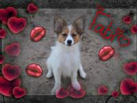 I have 2 wonderful clutters of Papillon young puppies,