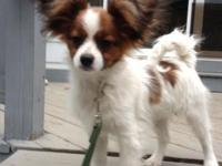 AKC Papillon new puppies available, Champion