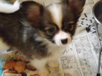 Gorgeous Papillon new puppies for customer, Champ