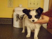 AKC Papillon young puppies available for sale, Champ