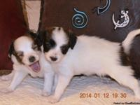 I have for sale two purebred female Papillon puppies