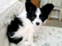 PAPILLON PUPPIES AVAILABLE NOW Papillons are considered