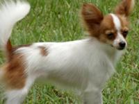 I have a 11 month old female Papillon puppy for sale.