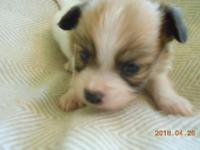 This lil boy is Sable - black - white. AKC Comes with