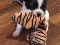 Batman , 7 week old male Papillon from Russian imported