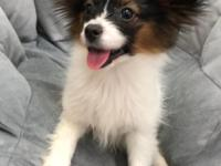 Incredibly sweet Papillon import. He is gorgeous, has