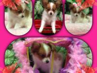 This little girl is a tiny toy Papillon puppy.