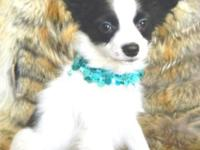 WE HAVE SEVERAL PAPILLONS AVAILABLE ONE FEMALE AND