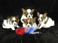We Have 3 Beautiful Male Papillon Puppys Moms and dads