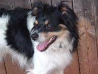 Papillon - Rex - Medium - Young - Male - Dog This