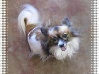 Papillon - Sissy - Small - Adult - Female - Dog Please