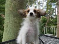Papillon - Luna - Small - Young - Female - Dog Luna is