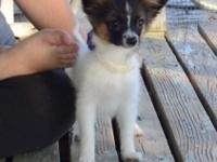 We have two Papillon puppies looking for their new