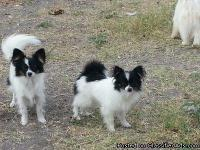 I have several Papillons to sell.  They range in