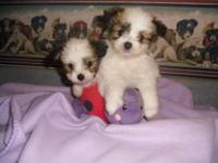 """Papitese"" puppies. Male and female. Vaccinations up to"