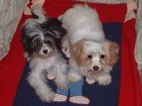 I have two little Pappy-Poo (Poodle/Papillon mix)