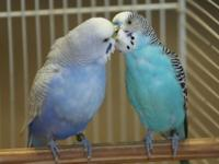 2 beautiful fancy blue parakeets. They've gotten along