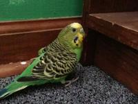 9month parakeet! Green and blue male. Looking for a new
