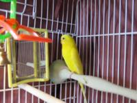 Parakeet (Other) - Budgies/parakeets - Small - Adult -